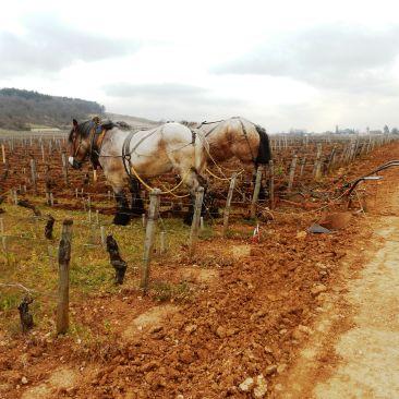 Bonne-Mares, chevaux de trait belges labourant la parcelle