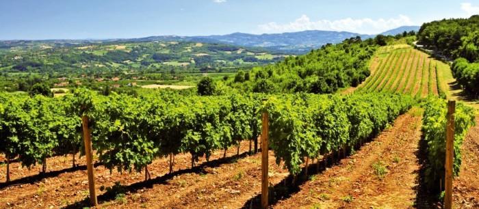 A Madiran, le cépage tannat couvre 66 % du vignoble