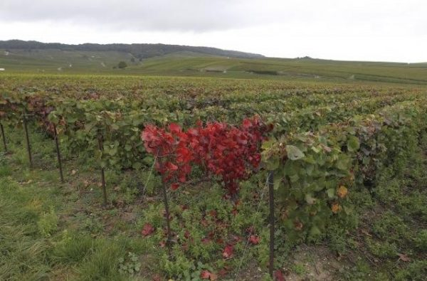Esca (maladie de la vigne)