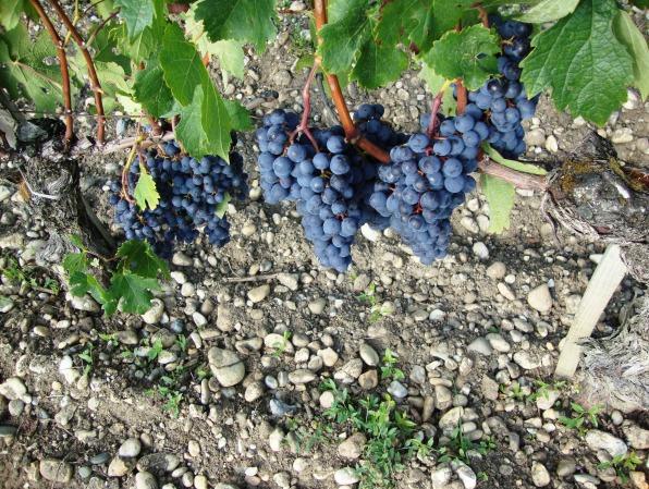 Le cabernet sauvignon sur le terroir du château Margaux