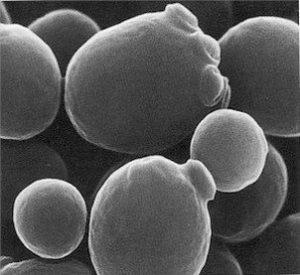 Levure saccharomyces cerevisiae