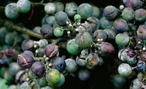 Oïdium (maladie de la vigne)