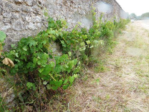 Il existait à Chambord quelques plants de chasselas, plantés par les derniers occupants de la ferme de l'Ormetrou, les frères Fortin