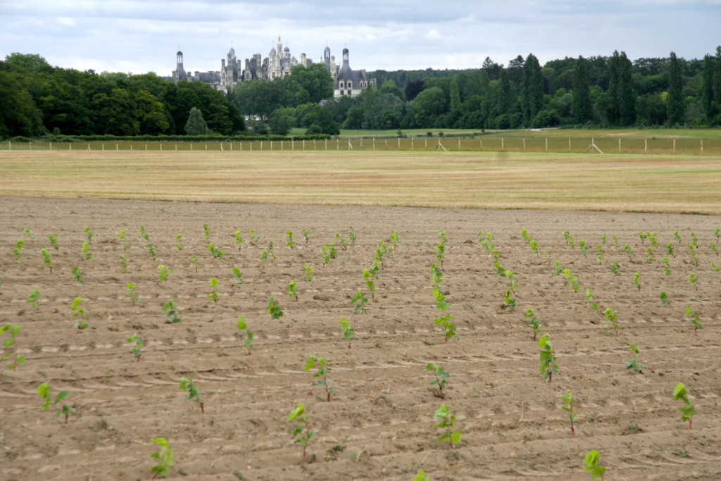 Vigne-Chambord-06-2015-(c)-Xavier-Deregel-Domaine-national-Chambord_MG_1398