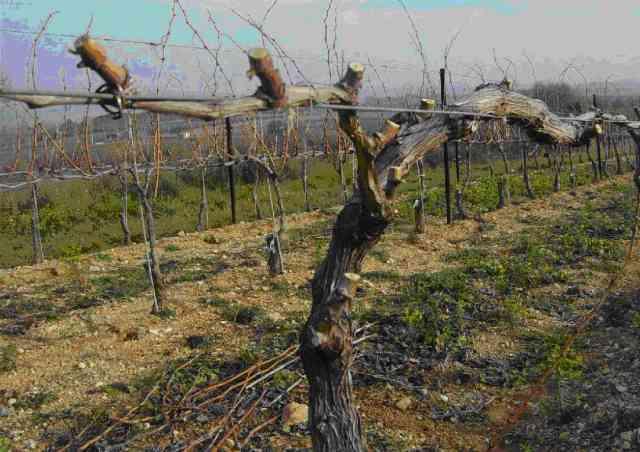 La taille en cordon de Royat. Système de taille utilisé en vigne basse mais aussi en vigne haute. Le pied de vigne est coudé. Sur la partie horizontale sont dressés un certain nombre de bras taillés courts sur lesquels un courson est conservé [taille courte].