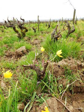 Au printemps, de graciles tulipes de vigne poussent au milieu des pieds de vigne, espèce protégée devenue rare