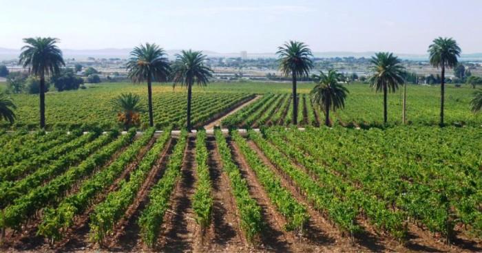 Les vignes terrasses du château du Galoupet