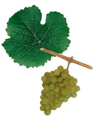 Traminer (savagnin) cépage blanc (Alsace)