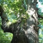 La Sentinelle le plus gros chêne de Tronçai