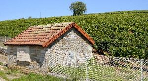 La vigne Pasteur