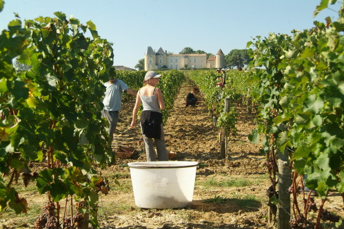 Vendanges par tries successives à Yquem