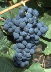 Tressot (cépage noir) Bourgogne