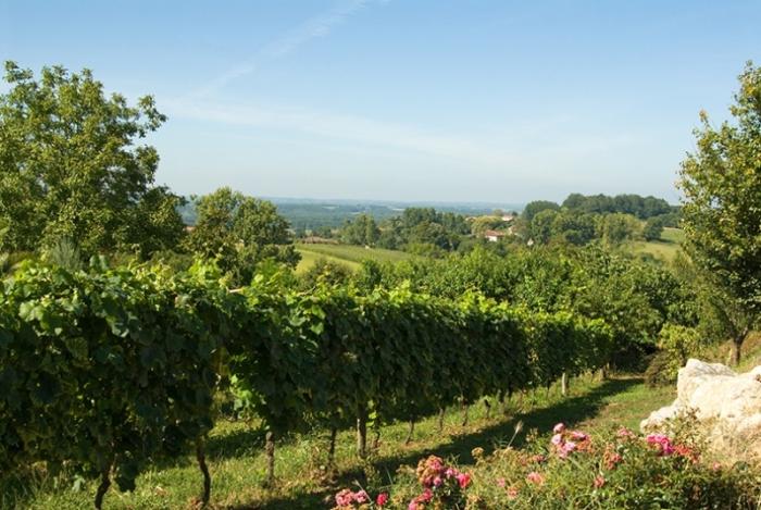 Tursan dans les vignes