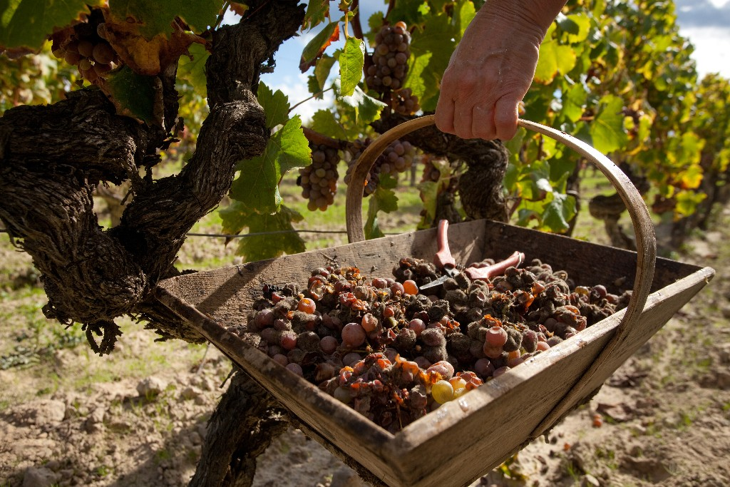 Vendanges par tries successives dans le sauternais