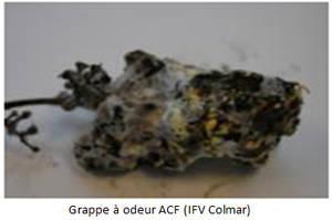 Grappe à odeur ACF (IFV Colmar)