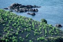 Vignoble de Banyuls à l'abrupt de la Méditerranée