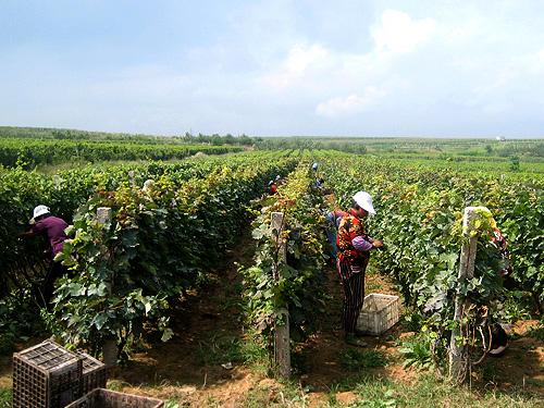 Vignoble près de Yantai
