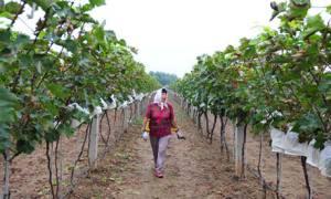 Vignoble province de Shandong