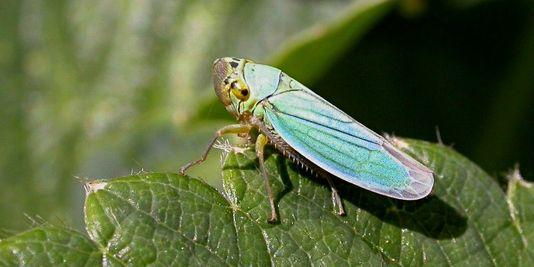 La cicadelle vecteur de la flavescence dorée (Jean-Jacques Milan Wikimedia)