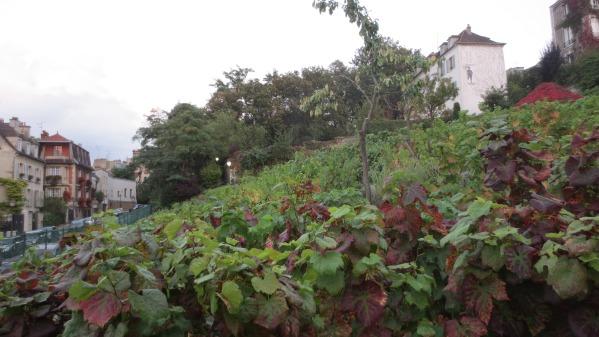 Paris (les vignes à Paris) histoire et état des lieux