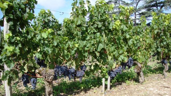 Le cabernet franc à Cheval Blanc