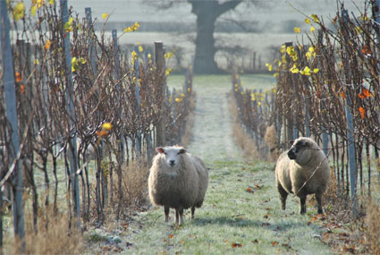 england vineyard Woodchurch Estate Winter