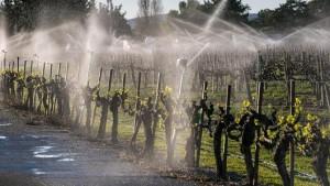 Des vignes irriguées en Californie près de Los Alamos avec risque accru de maladies