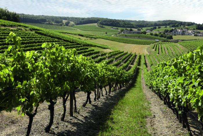 L'ugni-blanc région-de Cognac particulièrement touché par les maladies du bois (Crédit photo Antoine Bagot)