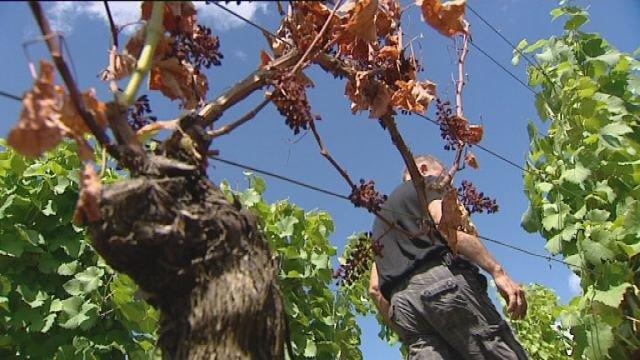 Plant de vigne atteint par l'esca maladie de la vigne (© Hugues Perret)