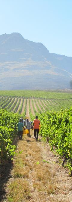 Afrique du Sud région-de Stellenbosch, domaine Dornier plantations de chenin, merlot, tempranillo, sauvignon, malbec, syrah et cabernet