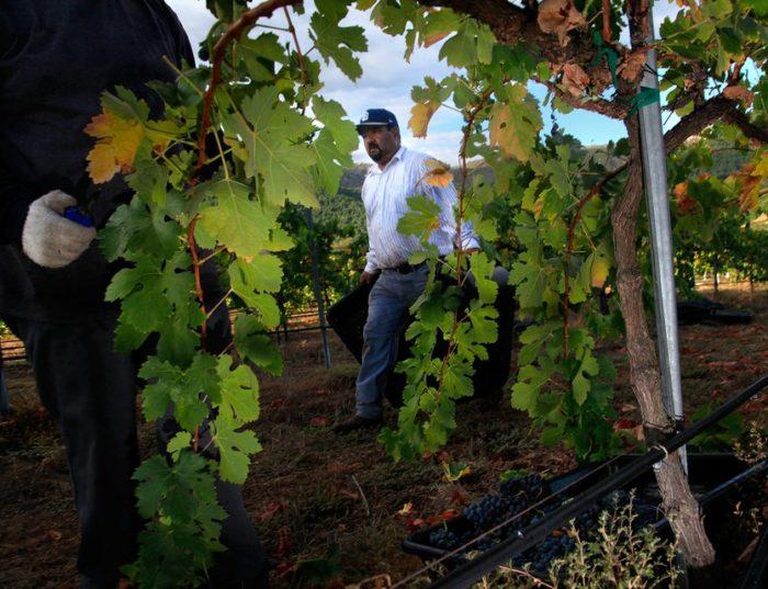 Vigne de carignan dans Pauma Valley