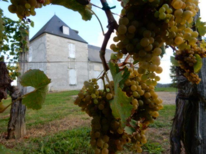 Grappes de petit manseng du château de Navailles dans le Jurançon sur les hauteurs d'Aubertin, propriété de la cave de Jurançon (Gan)