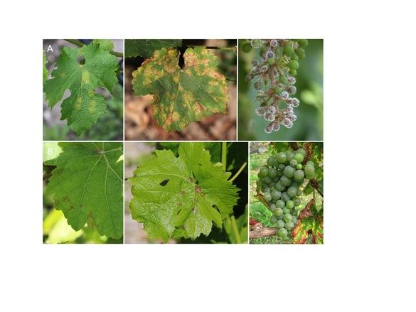 Mildiou (maladie de la vigne) et ses conséquences