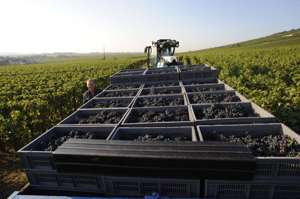 Le pinot noir vendangé à la Romanée -Conti en septembre 2016 (Photo cornelis van Voorthuizen)