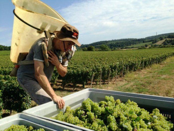 Vendanges du chardonnay destiné au Crémant de Bourgogne
