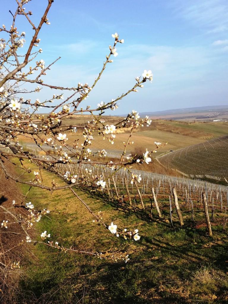 Villany Dans les collines sur les hauteurs de Villany (Hongrie)