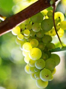 L'aligoté cépage blanc de Bourgogne