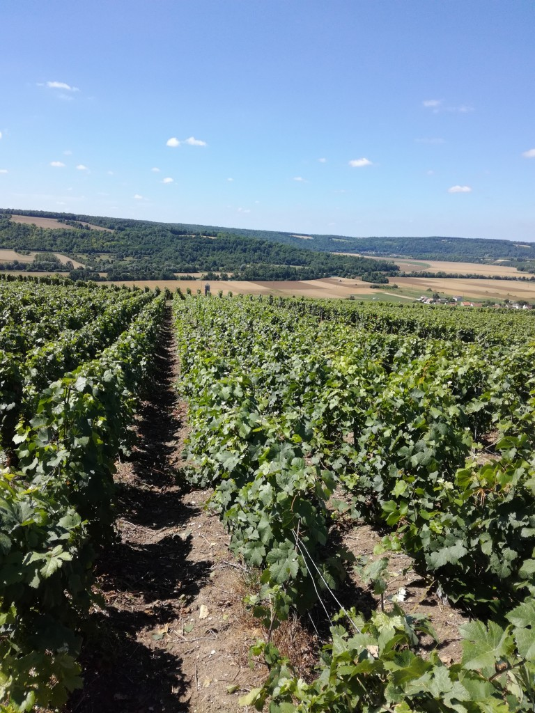 Vignoble de Champagne à Charly-sur-Marne (Photo FC)