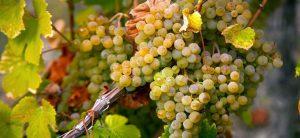 L'airen est le premier cépage planté en Espagne (et quasiment qu'en Espagne) couvrant 218 000 ha où il représente 22 % du vignoble national.