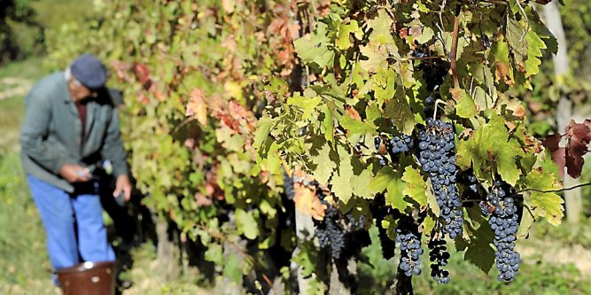 Le grenache noir ou garnacha tinta, d'origine espagnol est majoritairement cultivé en France et en Espagne. Ces deux pays représentent 87 % de la surface mondiale.
