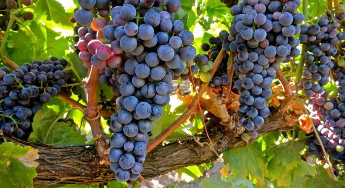 Le tempranillo, originaire d'Espagne est le cinquième cépage le plus planté dans le monde. Ses vins sont colorés, de haute teneur en alcool et de faible acidité dans les zones chaudes.