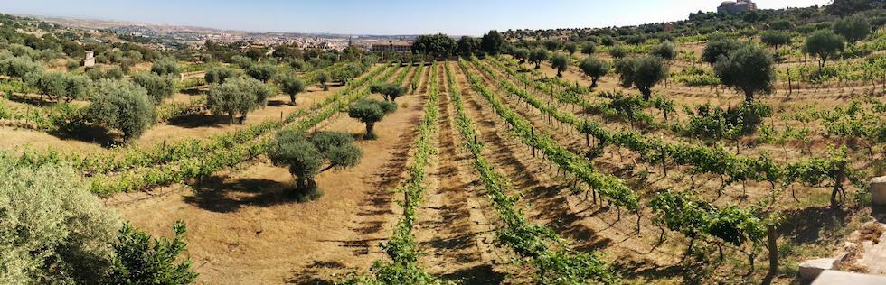 En 2050, Bordeaux aura le climat de Tolède (région vinicole de Castilla la Mancha). Ici, Las Bodega Viñedos Cigarral de Santa María. C'est l'unique vignoble urbain (Tolède) en Espagne (Photo du producteur)