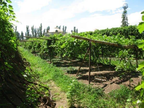 Cet oasis de Turfan dans la Province de Xinjian, offre un vignoble dans cette région de Chine la plus chaude du pays (Photo Marie-France Lefèvre)
