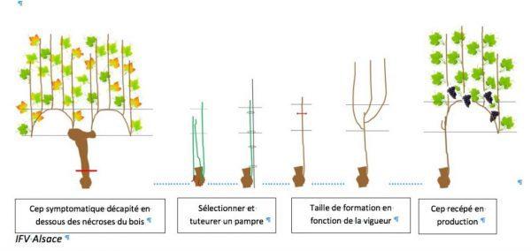 Une des technique contre les maladies du bois, le recépage