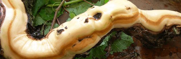 L'INRA de Bordeaux, en partenariat avec Biovitis, poursuit ses recherches sur l'oomycète Pythium oligandrum, un agent potentiel de lutte contre les maladies du bois (Vitisphère)