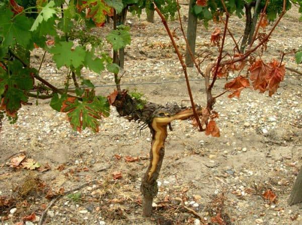 Maladies du bois (MDB), principales causes du dépérissement de la vigne