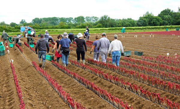 Jour de plantation chez le pépiniériste viticole Mercier à Vix en Vendée (Photo Mercier)