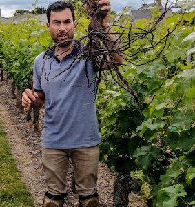 Thomas Chassaing dans les rangs de vigne du Domaine de Lavigne à Varrains (Saumurois) exhibe le système racinaire d'un vieux plant (Photo FC)