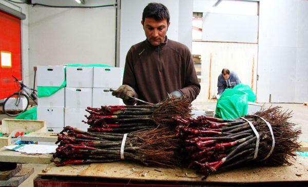 Les plants sont conditionnés par lot de 250 plants en attendant leur plantation chez les vignerons.