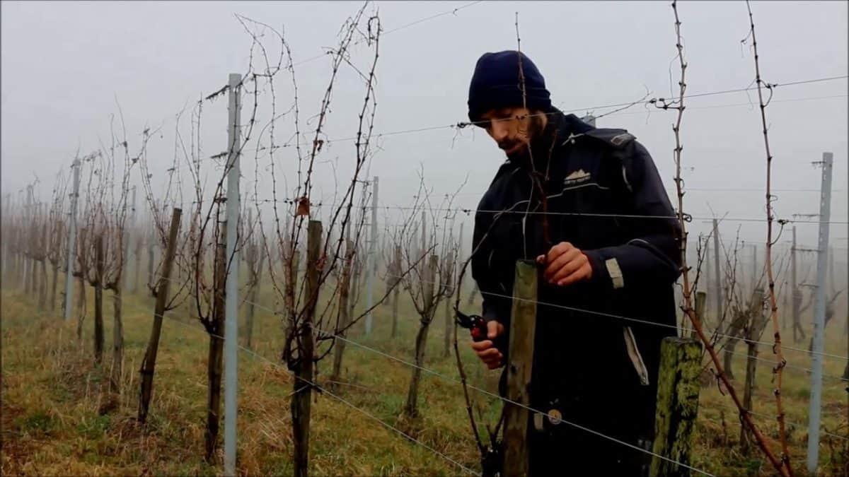 Taille en Guyot-Poussard chez Florian Beck-Hartweg (et sa compagne Mathilde), tous deux vignerons indépendants à Dambach-la-Ville (Alsace). Le domaine possède une bonne surface de vignes sur le coteau du Grand Cru Frankstein. Les raisins depuis 2011 sont certifiés biologiques par Ecocert. Florian est vice-président du Syndicat des Vignerons Indépendants d'Alsace, vice-président de l'UGV (Université des Grands Vins) et responsable de la gestion du Grand Cru Frankstein.